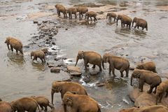 Elephants Crossing a River Stock Photos