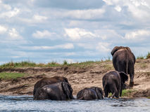 Elephants crossing river Chobe Royalty Free Stock Images
