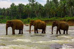Elephants crossing river royalty free stock photos