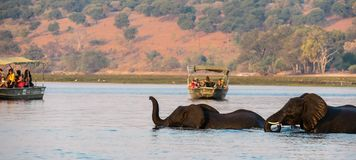 Elephants crossing the river while tourist are watching. During a boat cruise. The river is deep and only heads and trunks of the elephants are visible stock photos