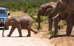 Elephants are crossing the road Stock Photo
