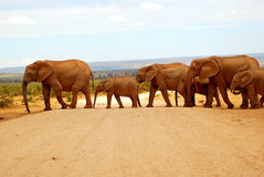 Elephants crossing road. A herd of African elephants crossing a gravel road in a game park in South Africa Royalty Free Stock Images