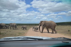 Elephants crossing road Stock Images