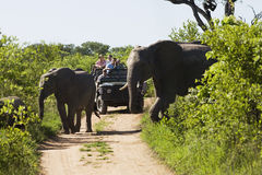 Elephants Crossing Road With Jeep In Background Stock Photography