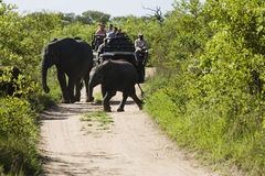 Elephants Crossing Road With Jeep In Background Stock Images