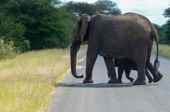 Elephants crossing road in Kruger national park Royalty Free Stock Photography