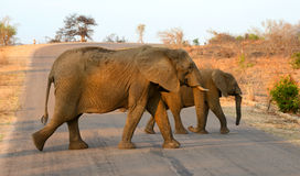 Elephants crossing a road Stock Photos