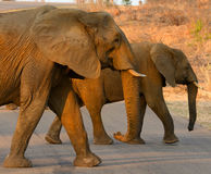 Elephants crossing a road Royalty Free Stock Photography