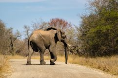 Elephants crossing the street Kruger park, safari animal South Africa royalty free stock image