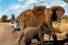 Elephants crossing. Two elphant are crosisng a street inside Kregur national park to the tourists dismay stock photography