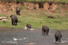 Elephants crossing watering hole. Several elephants crossing a watering hole or stream near a clay mud bank royalty free stock images