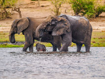 Elephants with cub Royalty Free Stock Photos