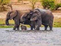 Elephants with cub Royalty Free Stock Photos