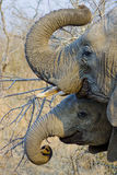 Elephants curling their trunks Royalty Free Stock Images