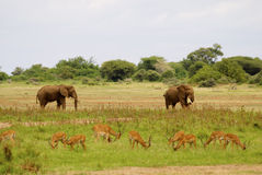 Elephants and deer. Deer in the front of the picture. In the back two elephants. The landscape is green Royalty Free Stock Images