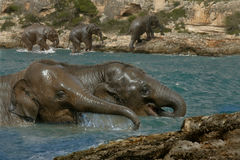 Elephants down by the river. Young Asian Elephants cool off in the river Stock Images