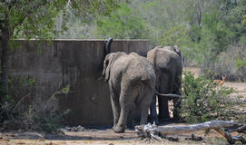 Elephants drink from the dam, Kruger National Park, South Africa Stock Images
