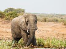 Elephants. Drink water in wild Stock Images
