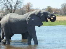 Elephants Drinkikng in South Africa. Elephant bathing and drinking in the Zambezi river Stock Photography
