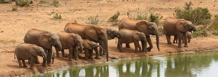 Elephants drinking. Stock Images