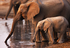 Elephants drinking. Baby elephant and cow drinking water ; Etosha Stock Photography