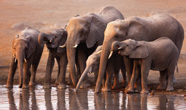 Elephants drinking. Elephant herd drink at a waterhole in Etosha Royalty Free Stock Image