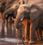 Elephants drinking. Elephant herd drinking at a waterhole in Etosha Royalty Free Stock Images