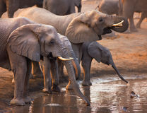 Elephants drinking. Elephant herd drinking at a waterhole in Etosha Stock Image