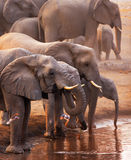 Elephants drinking. Elephant herd drinking at a waterhole and doves flying in foreground; Etosha Stock Photography
