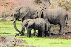 Elephants drinking Royalty Free Stock Image