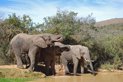 Elephants drinking Royalty Free Stock Photos