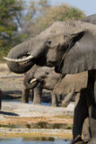 Elephants drinking Royalty Free Stock Photography