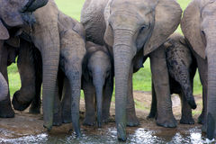 Elephants drinking. A herd of Elephants drinking water, Addo Elephant National Park Royalty Free Stock Photography