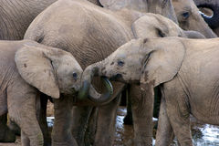 Elephants drinking. A herd of Elephants at a watering hole, Addo Elephant National Park Stock Photography