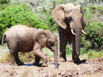 Elephants Drinking Stock Photo
