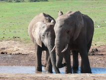 Elephants Drinking Stock Photo