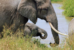 Elephants Drinking Royalty Free Stock Images