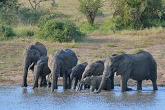 Elephants drinking. Elephant family drinking in Kruger National Park Royalty Free Stock Images