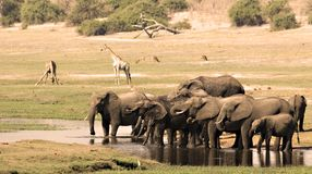 Elephants Drinking Stock Images