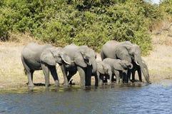 Elephants drinking Stock Photos
