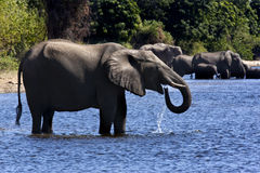 Elephants drinking - Botswana. African Elephants (Loxodonta africana) in the Chobe River in Chobe National Park in Northern Botswana Royalty Free Stock Images