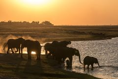 Elephants drinking at the chobe river royalty free stock photo