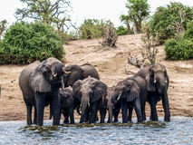 Elephants drinking Stock Images