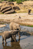 Elephants drinking and playing in water pool Royalty Free Stock Photography