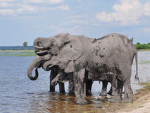 Elephants drinking in river Chobe Stock Photo