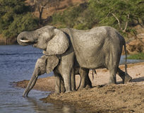 Elephants drinking water. A mother Elephant her two babies come to the Chobe river in Botswana for a drink of water Royalty Free Stock Images