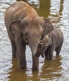 Elephants drinking water Stock Photos