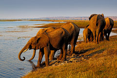 Elephants drinking water. African elephants drinking at a waterhole lifting their trunks, Chobe National park, Botswana, Africa. stock photos