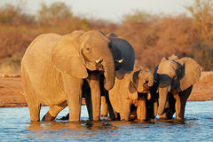 Elephants drinking water Stock Image