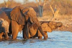Elephants drinking water Stock Photo